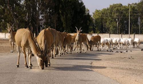 קאנות וראמים על הכביש בשטח האפריקאי. צילום: טיבור יגר